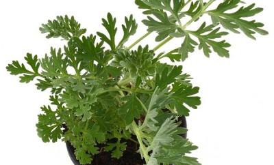 Planta medicinal ajenjo