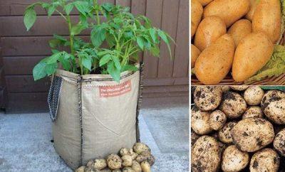 Cómo cultivar papas en sacos