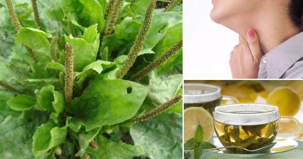 Propiedades curativas del llant n conmicelu for Planta decorativa con propiedades medicinales crucigrama