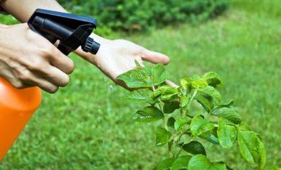Insecticida casero de ajo