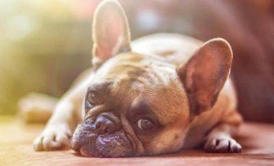 como-desparasitar-perros-con-remedios-caseros